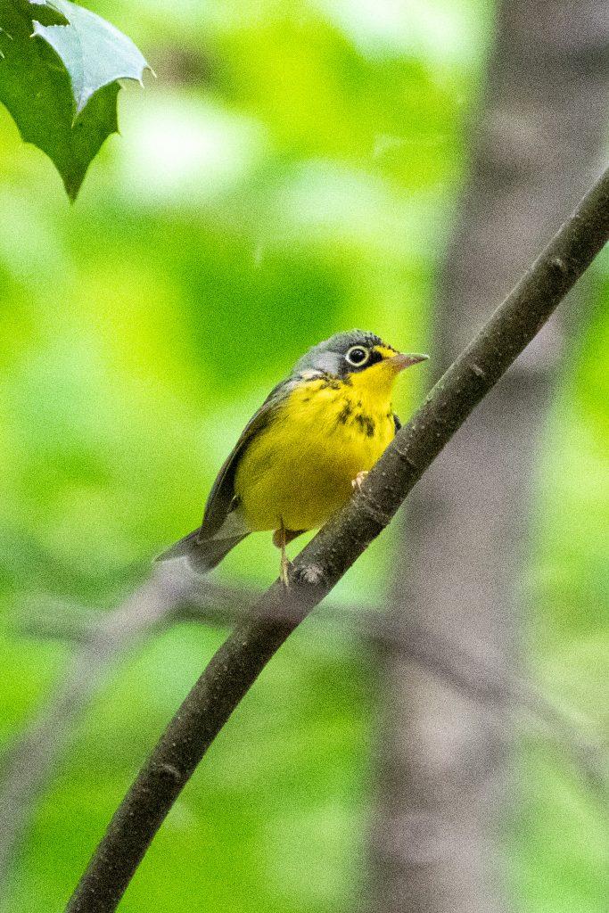 Canada warbler, Prospect Park