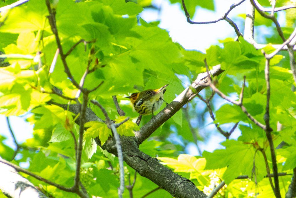 Cape May warbler, Prospect Park