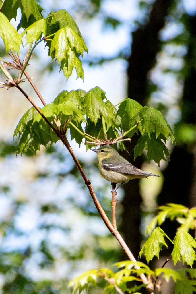 Cerulean warbler (female), Prospect Park