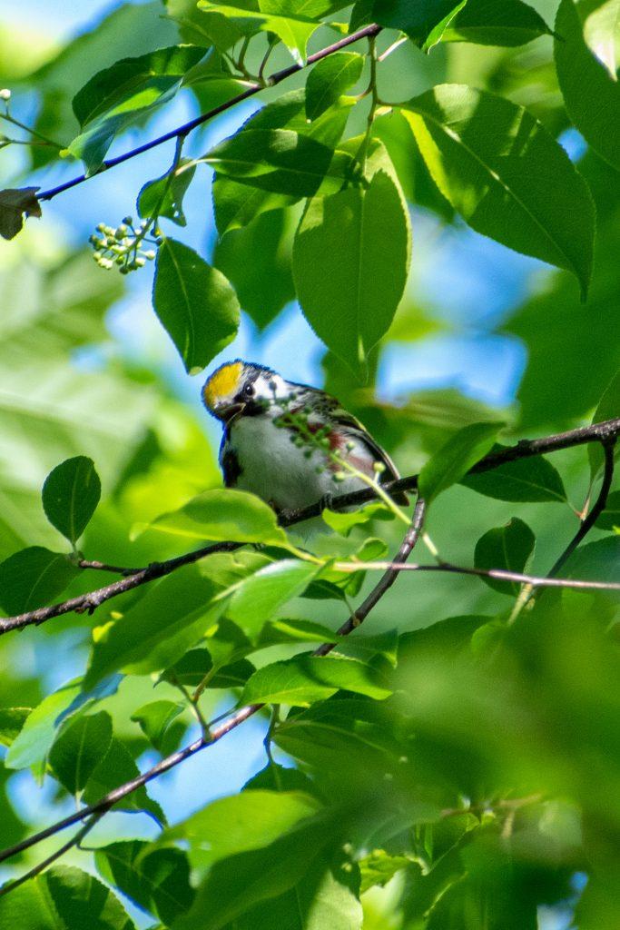 Chestnut-sided warbler, Prospect Park