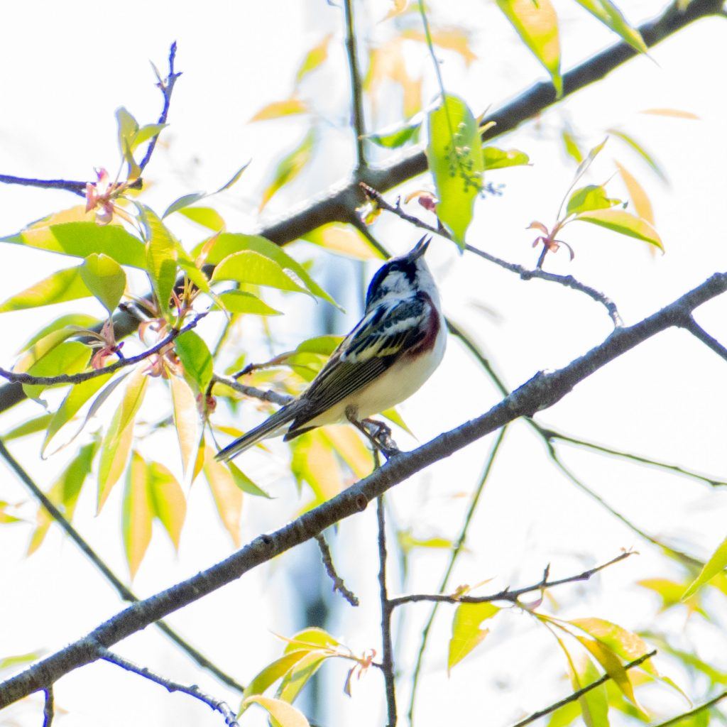 Chestnut-sided warbler, Mountain Top Arboretum, Tannersville, NY