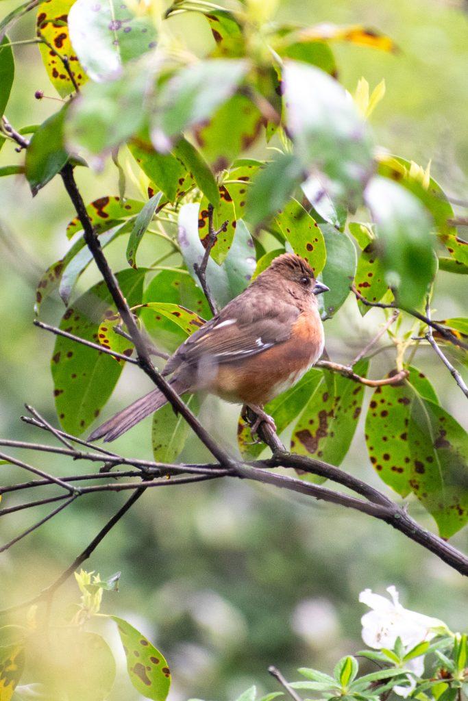 Eastern towhee (female), Prospect Park
