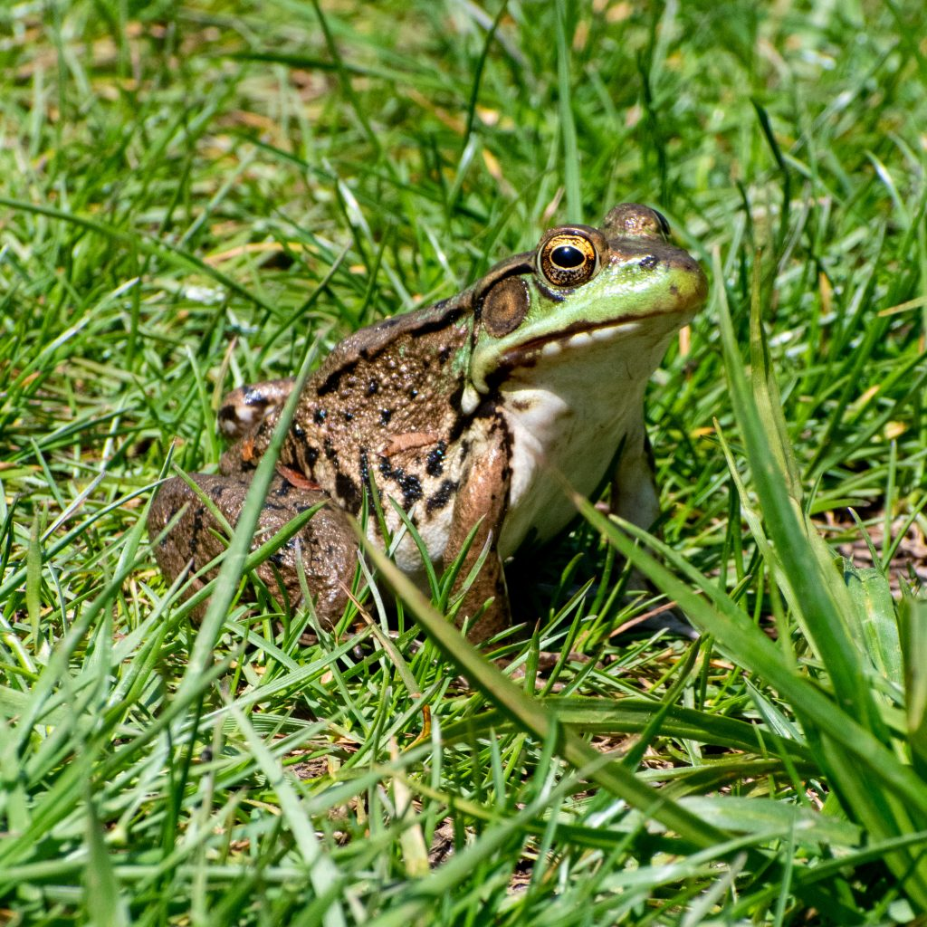 Frog, Mountain Top Arboretum, Tannersville, NY