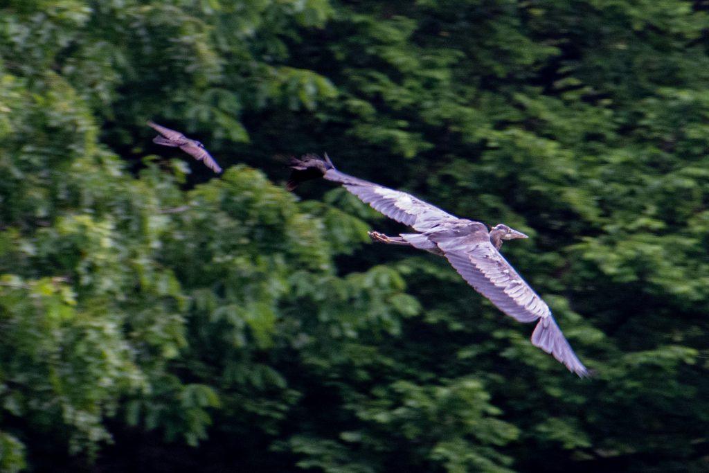 Great blue heron, pursued by grackles, Prospect Park
