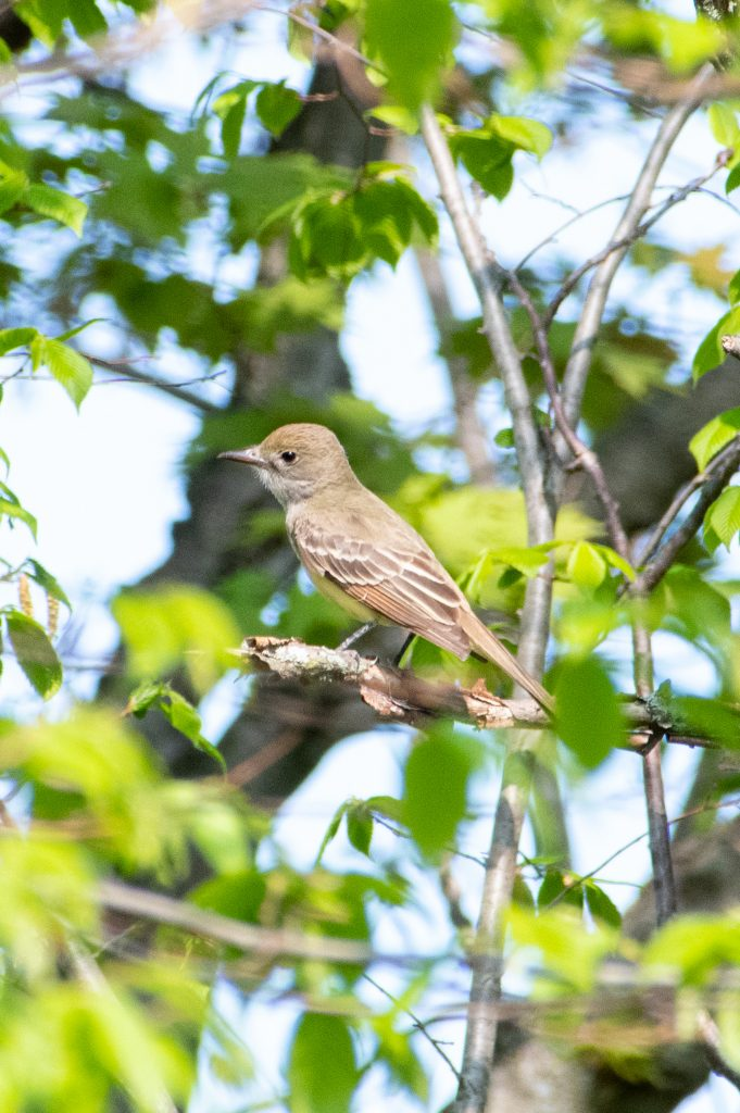 Great-crested flycatcher (juvenile), Windham Path, Windham, NY