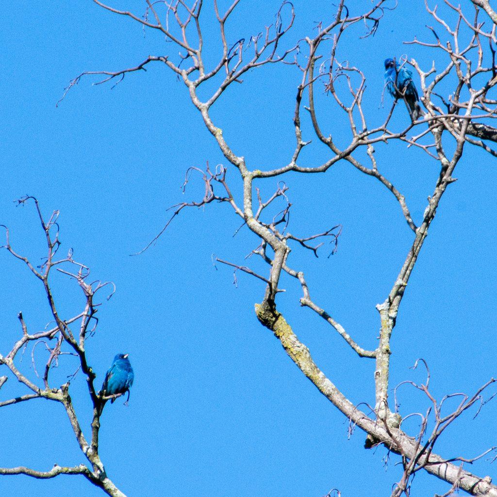 Indigo buntings (pair), Prospect Park