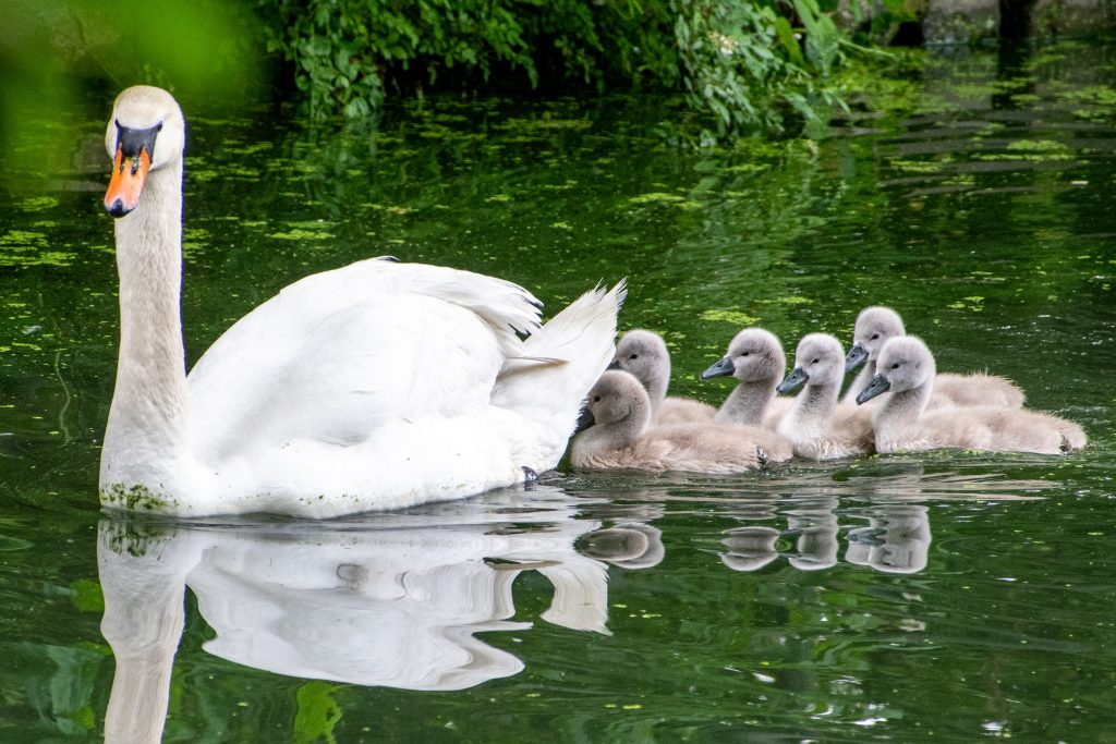 Mute swan and six cygnets, Prospect Park
