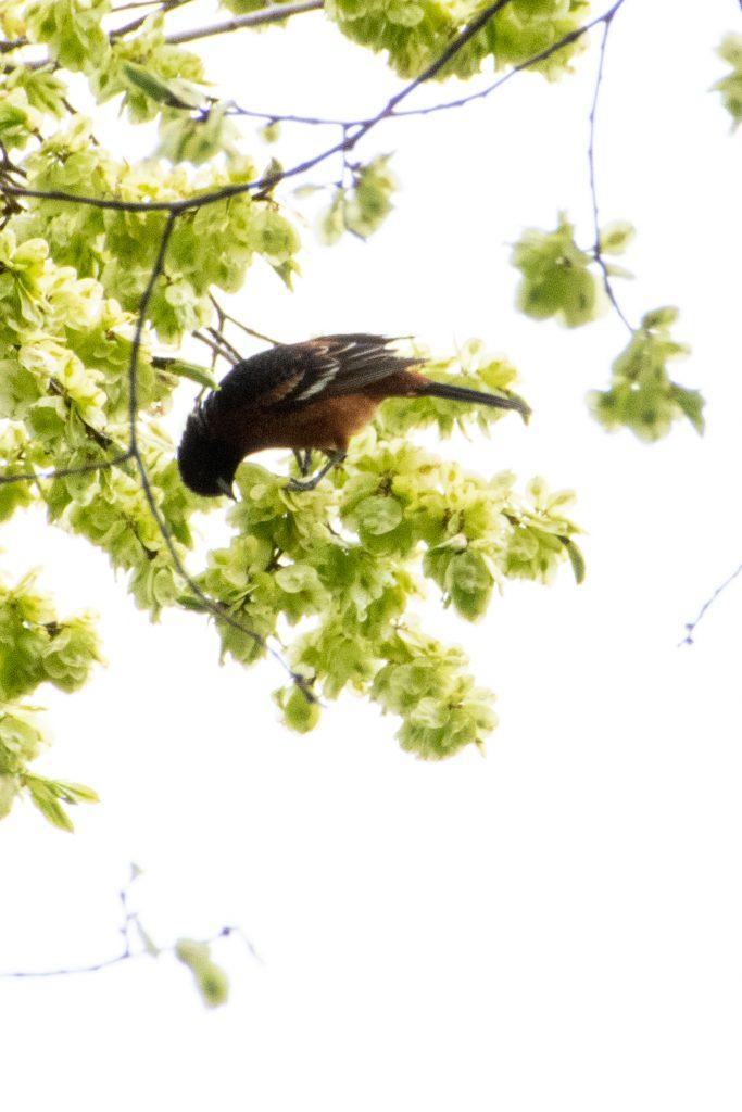 Orchard oriole, Prospect Park