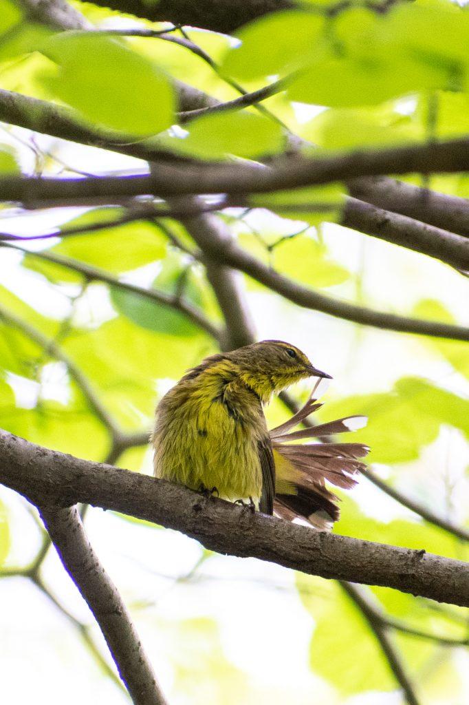 Palm warbler (wet), Prospect Park