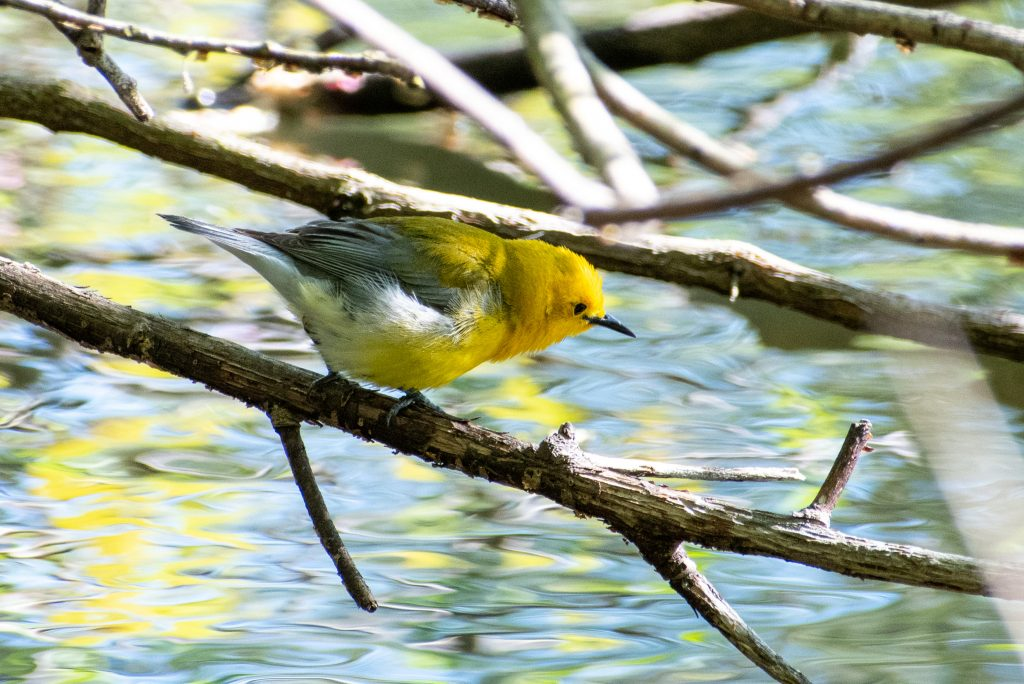 Prothonotary warbler, Prospect Park
