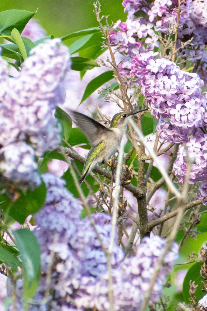 Ruby-throated hummingbird, Urban Cowboy Lodge, Big Indian, NY