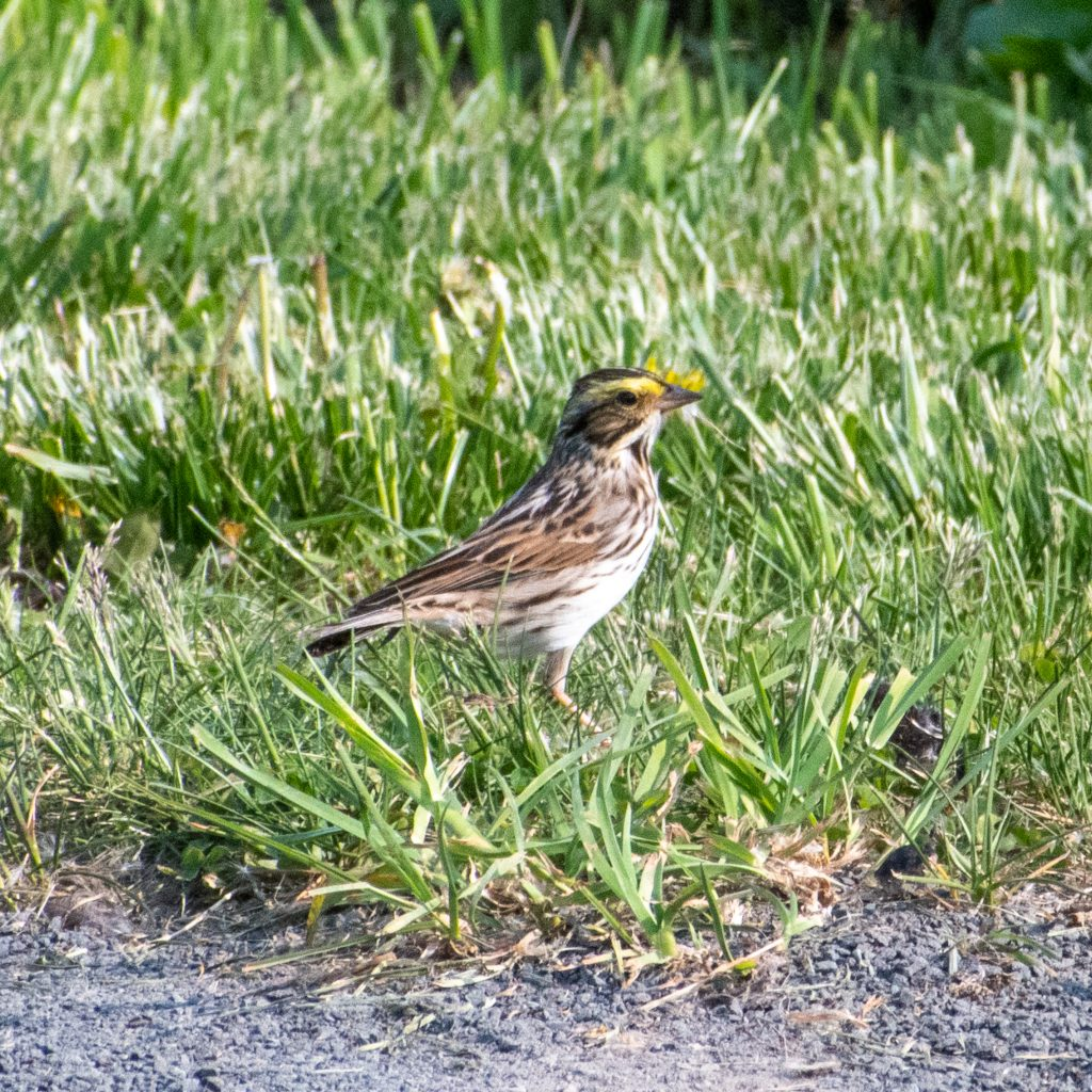 Savannah sparrow, Windham Path, Windham, NY