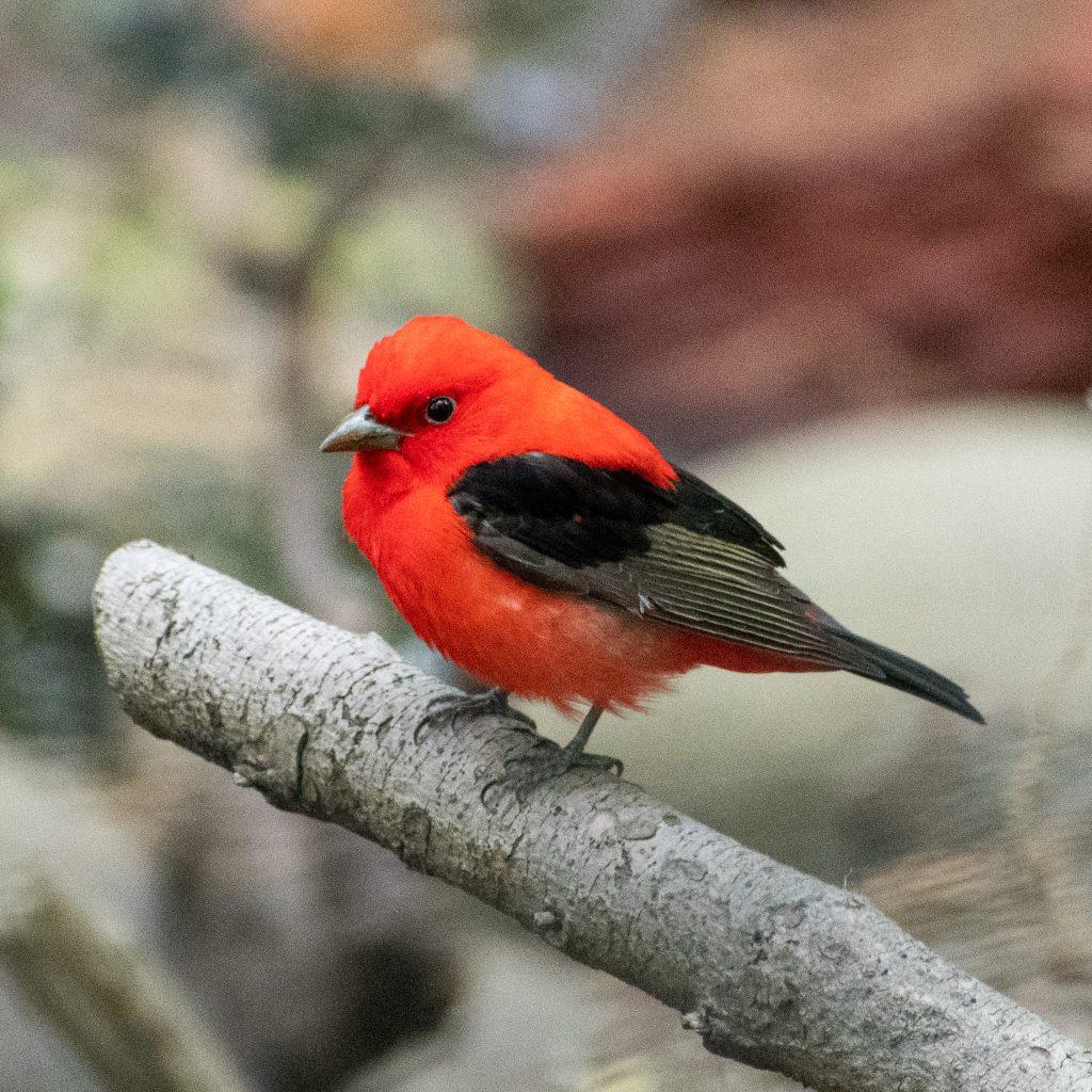 Scarlet tanager, Prospect Park
