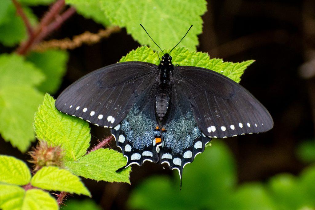 Spicebush swallowtail, Doodletown, NY