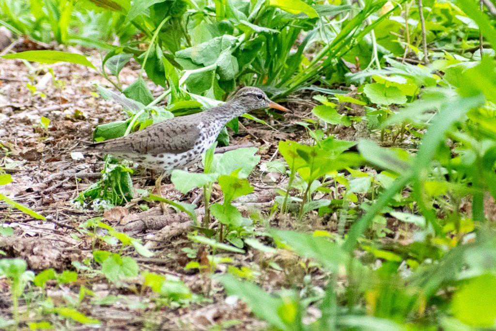 Spotted sandpiper, Prospect Park