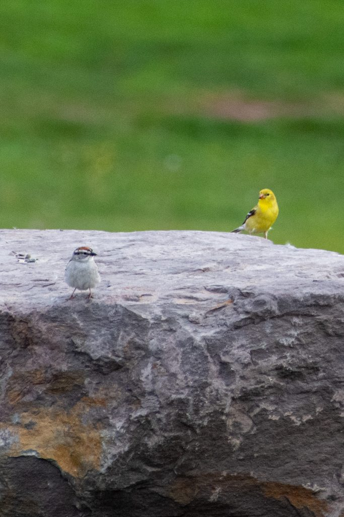 Chipping sparrow and American goldfinch, Urban Cowboy Lodge, Big Indian, NY