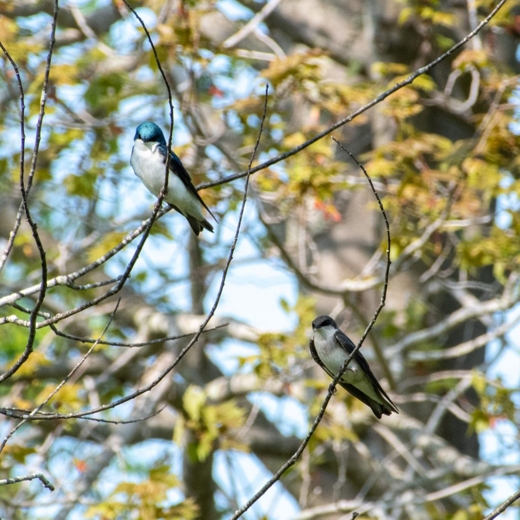 Tree swallows (male and female), Windham Path, Windham, NY