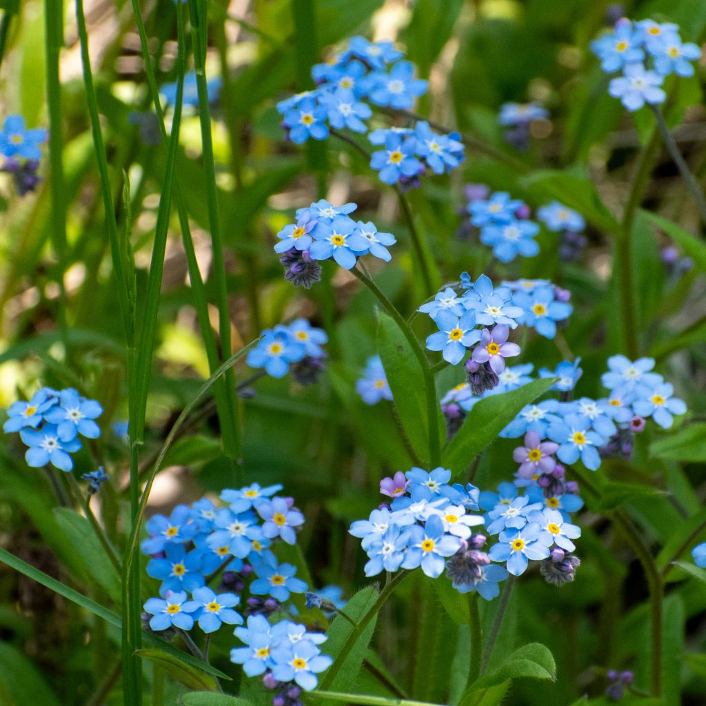 True forget-me-nots, Mountain Top Arboretum, Tannersville, NY
