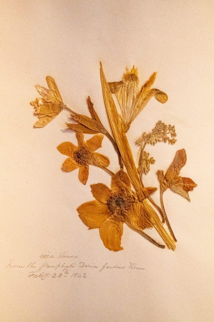 Wildflowers from the Pamphyli Doria gardens, Rome. February 28, 1842, Thomas Cole House, Catskill, NY
