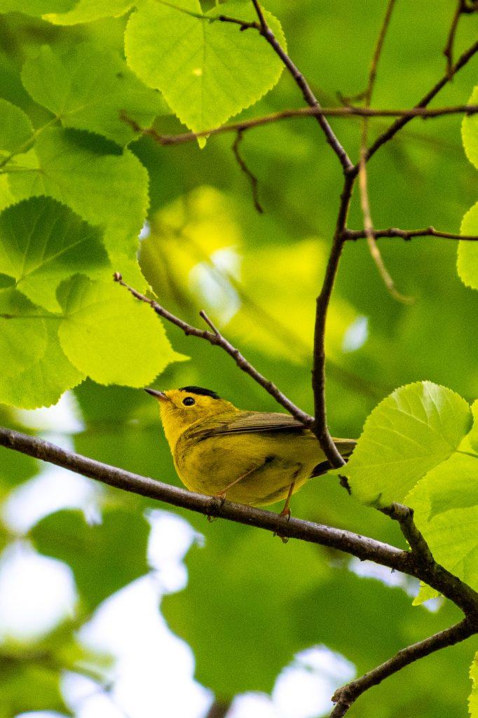 Wilson's warbler, Prospect Park