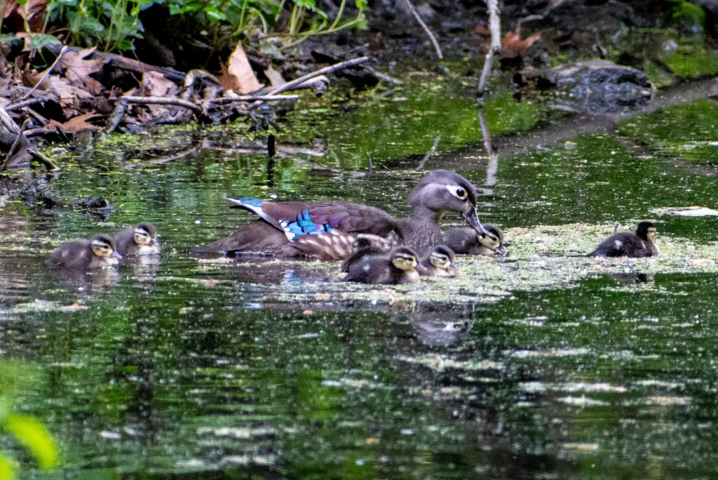 Wood duck and ducklings, Prospect Park