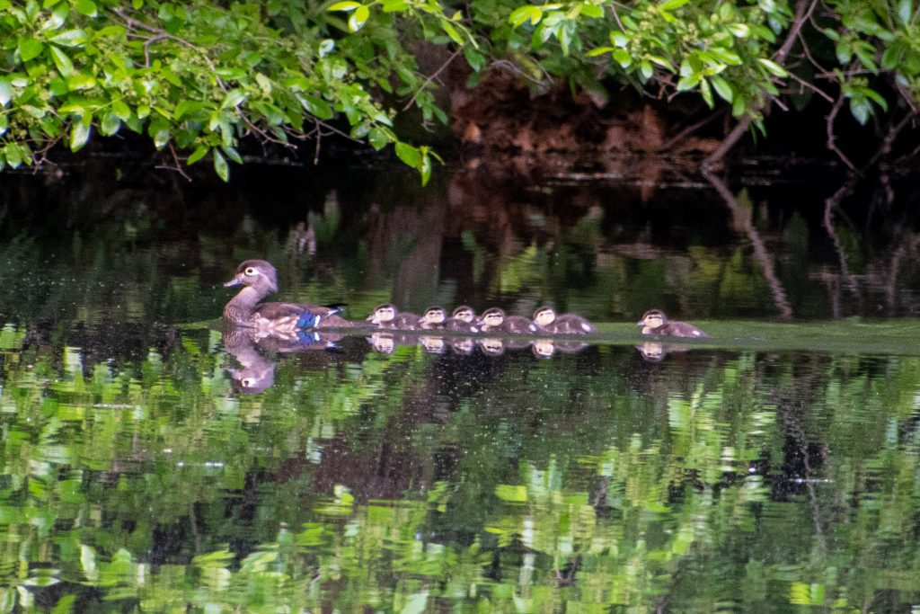 Wood duck and six ducklings, Prospect Park