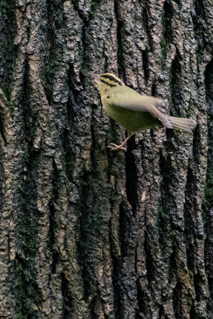 Worm-eating warbler, Prospect Park