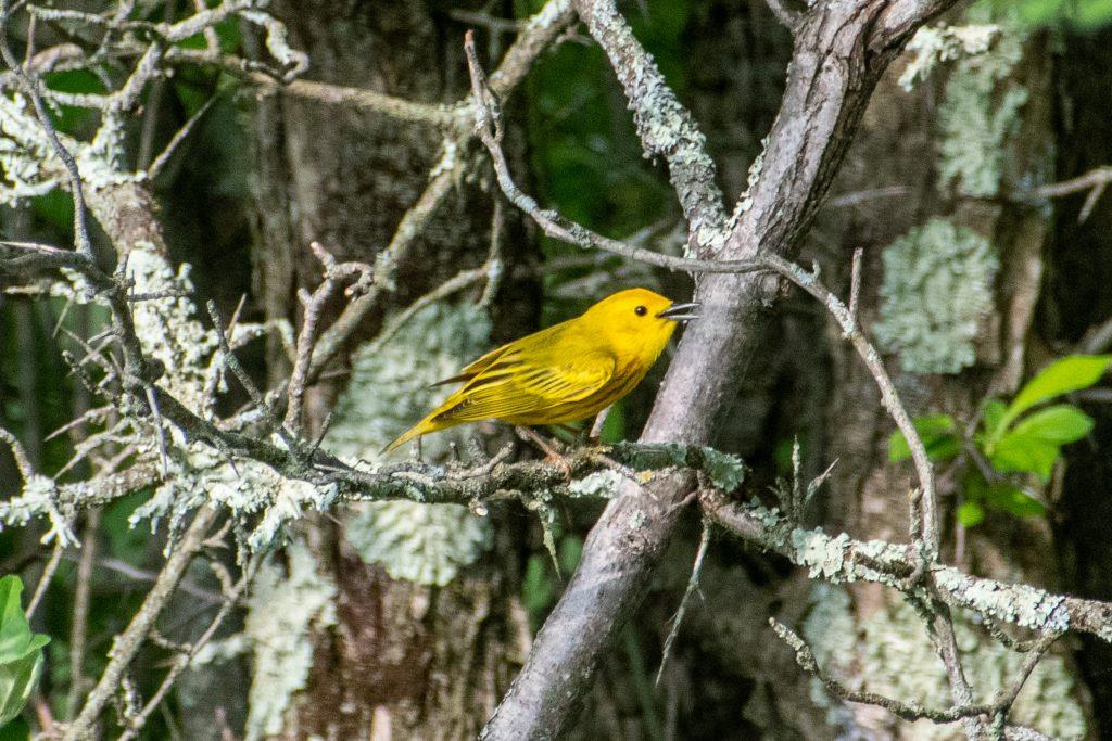 Yellow warbler, Kenoza Hall, Kenoza Lake, NY