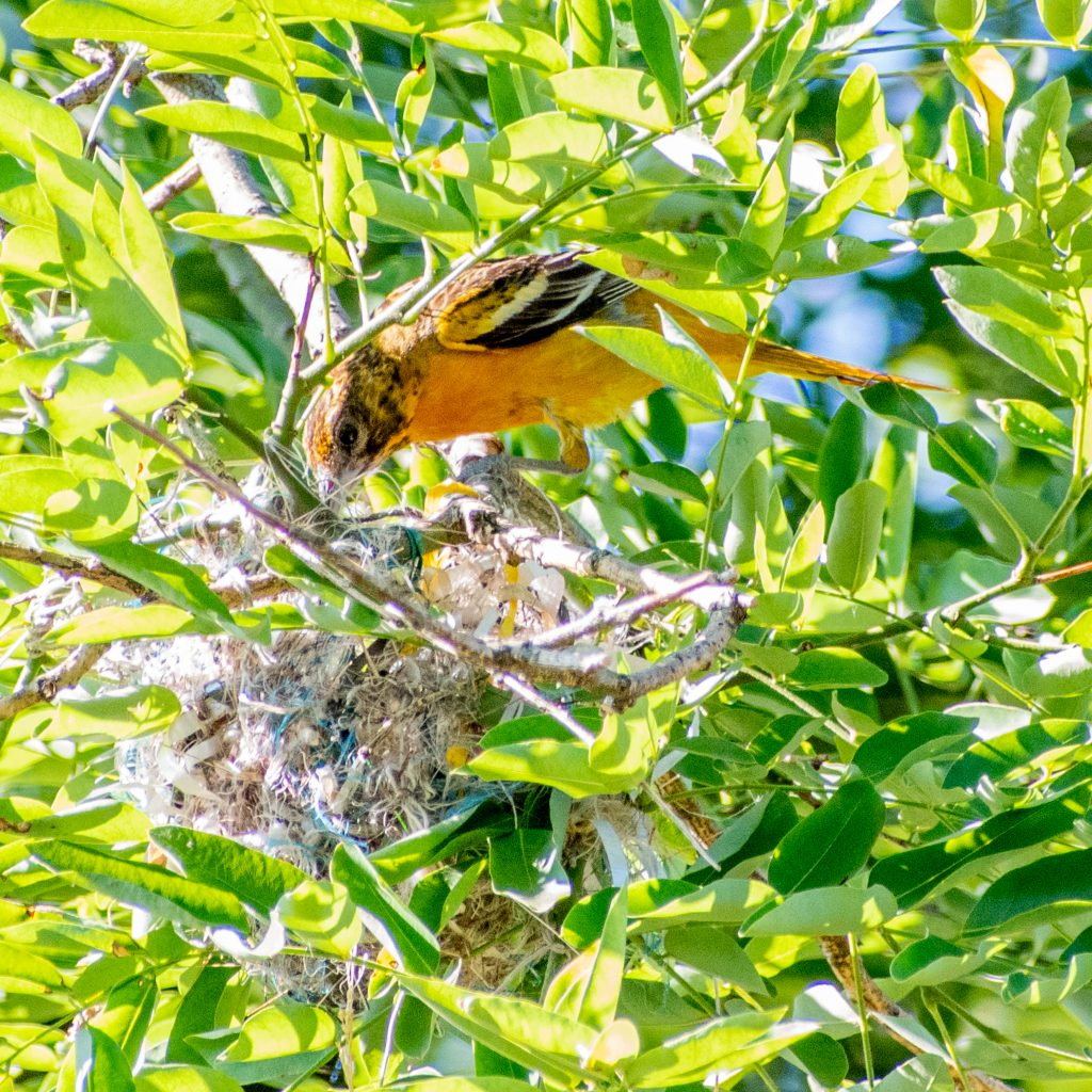 Baltimore oriole (female), bringing food to nest in pagoda tree, Prospect Park