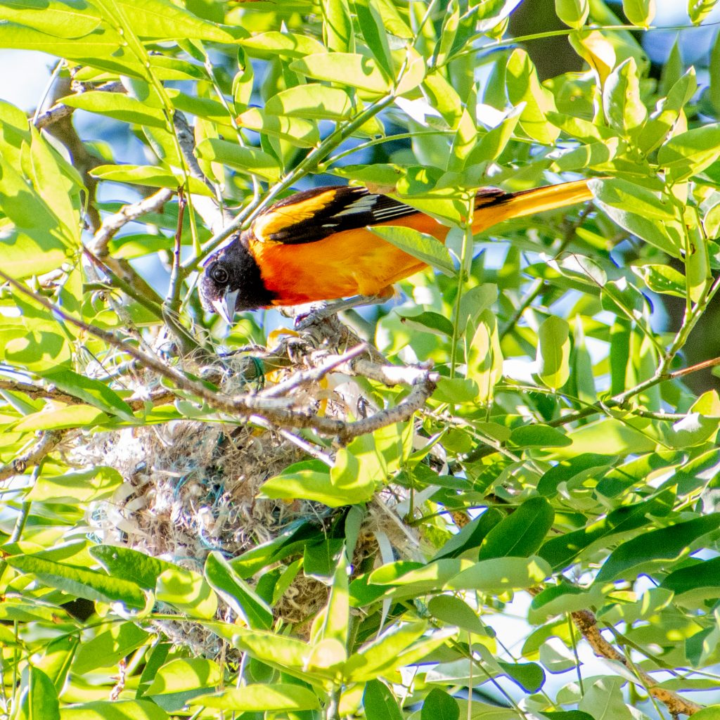 Baltimore oriole (male), bringing food to nest in pagoda tree, Prospect Park