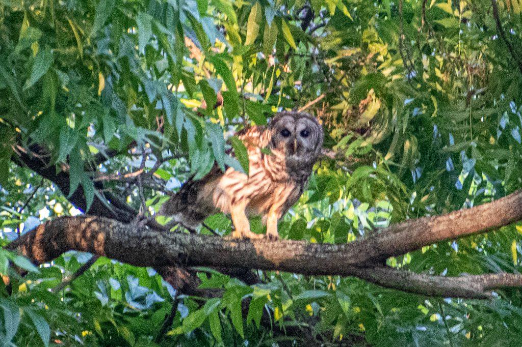 Barred owl, Trinity Park, Fort Worth, TX
