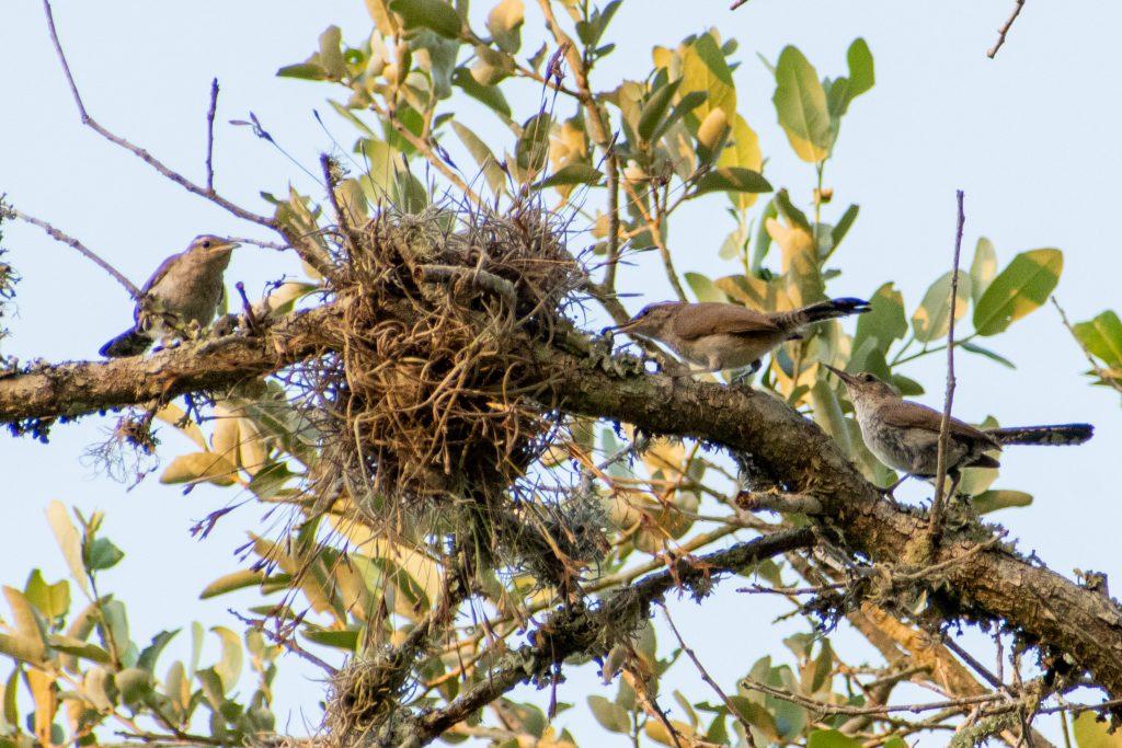 Bewick's wrens, Yorktown, Texas