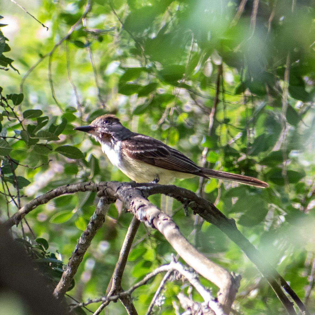 Brown-crested flycatcher, Yorktown, Texas