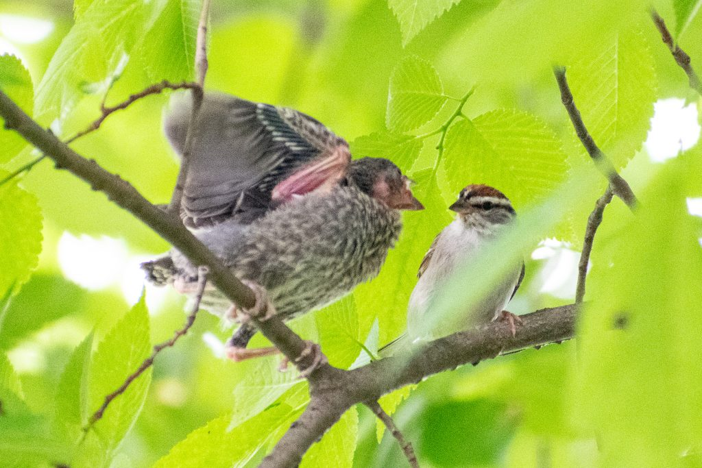 Brown-headed cowbird fledgling and adult chipping sparrow, Prospect Park