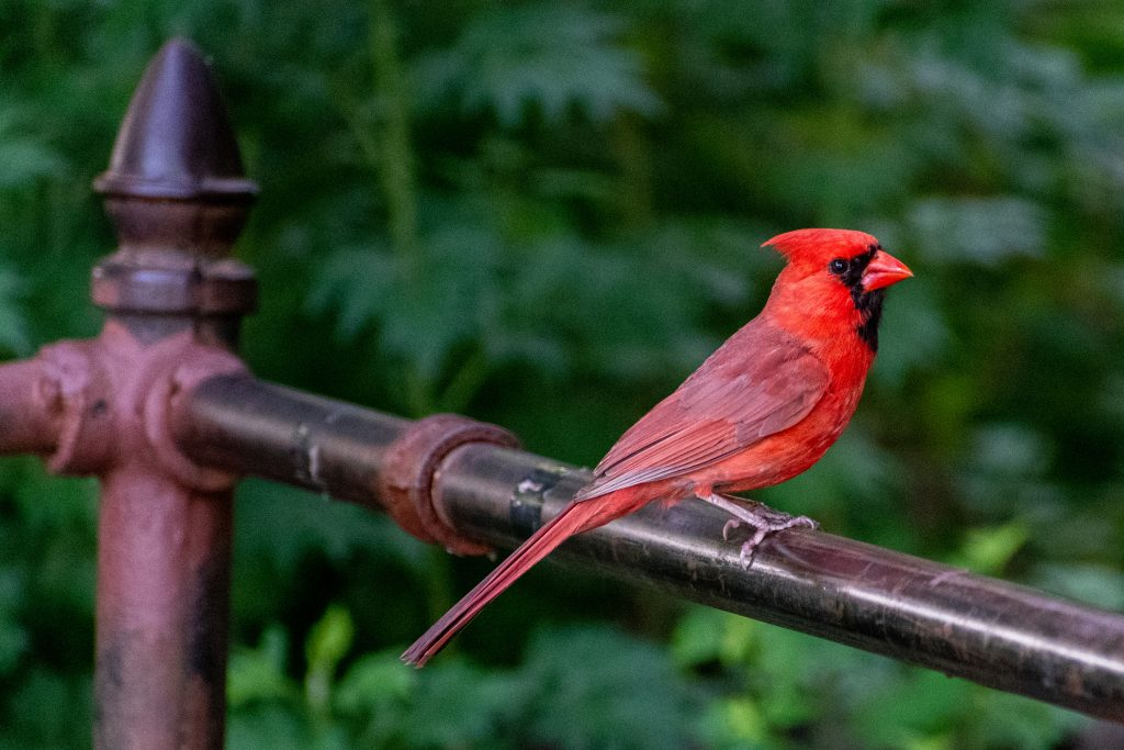 Northern cardinal, Prospect Park
