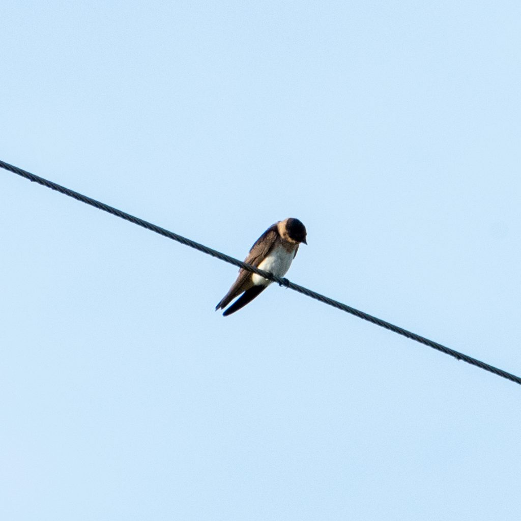 Cave swallow (juvenile), Yorktown, Texas