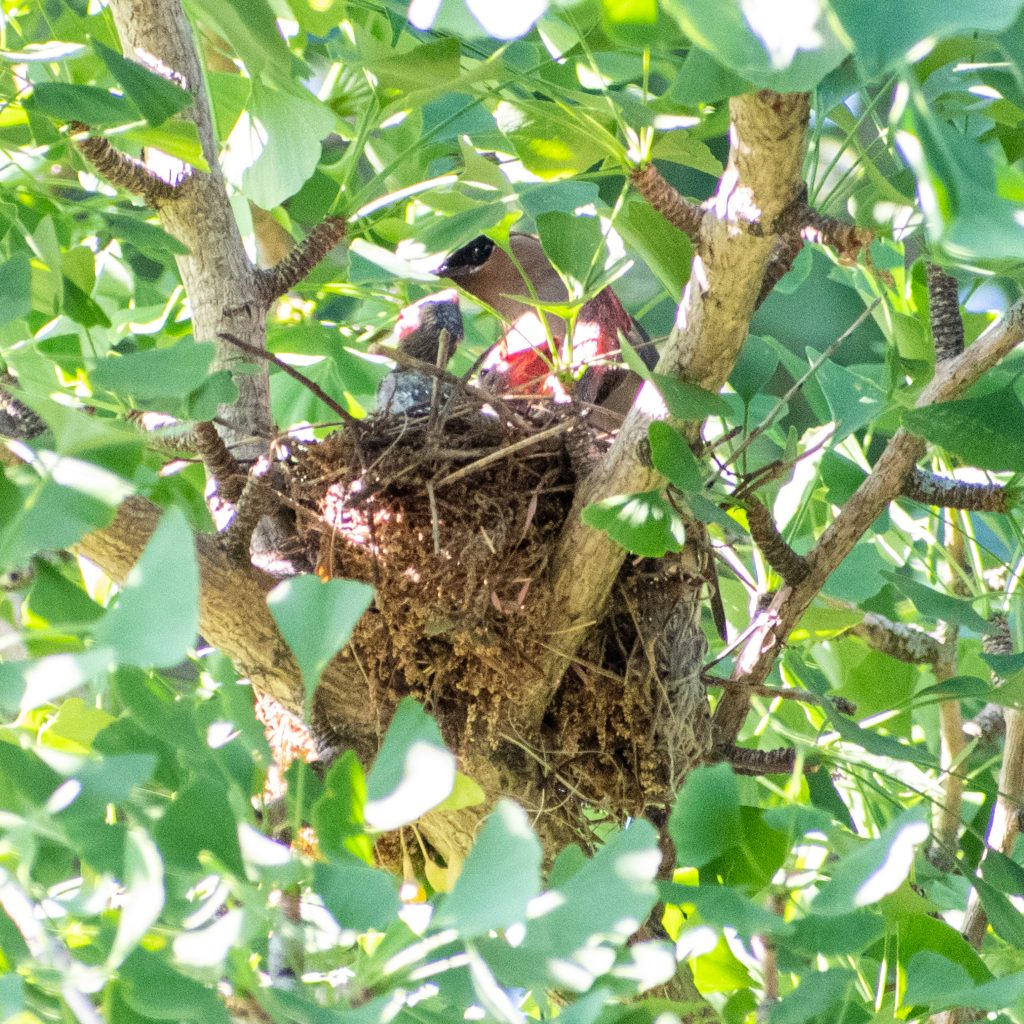 Cedar waxwing and nestlings in gingko tree, Prospect Park