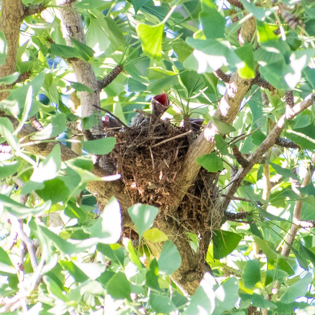 Cedar waxwing nestlings in gingko tree, Prospect Park
