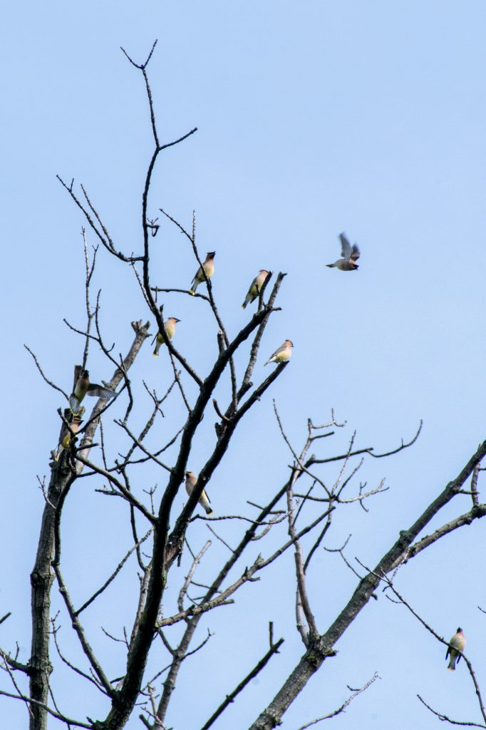 Cedar waxwings, Prospect Park