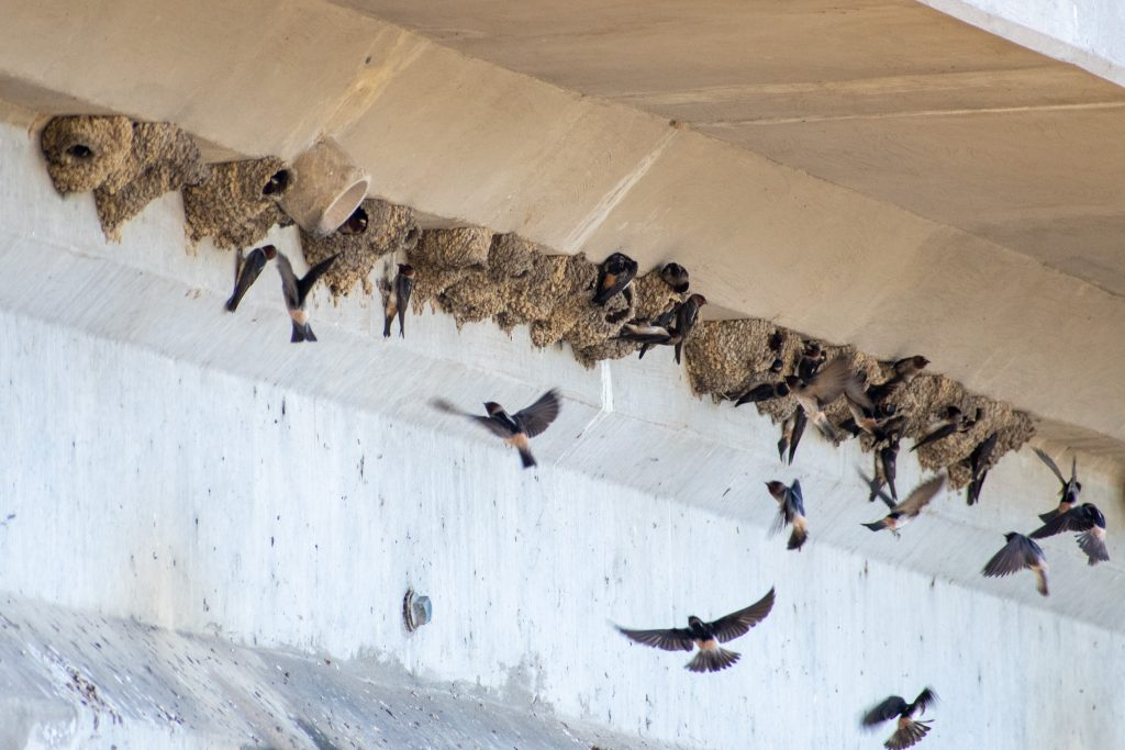 Cliff swallows, Trinity Trails, Fort Worth, Texas