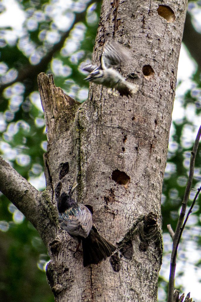Downy woodpecker vs European starling, Prospect Park