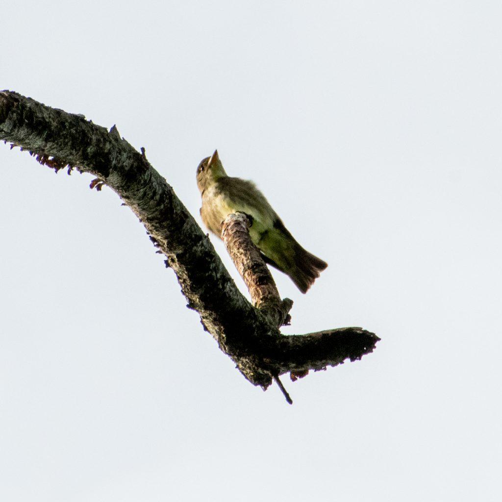Olive-sided flycatcher, Prospect Park