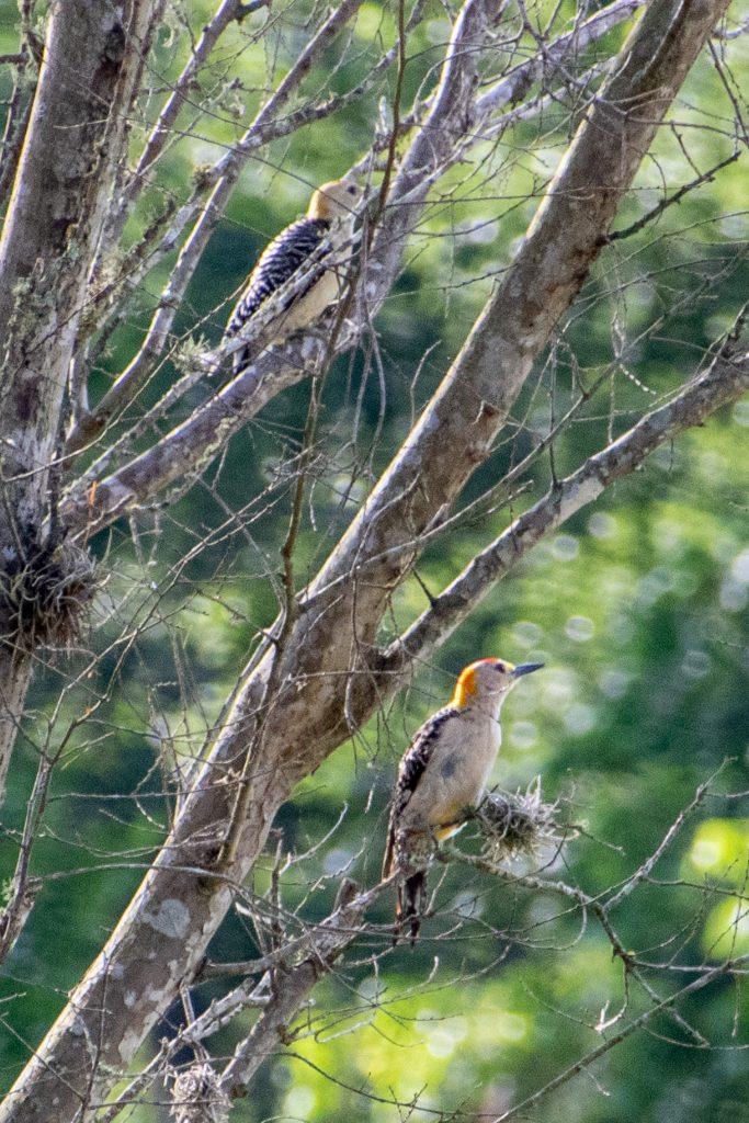 Golden-fronted woodpecker, Yorktown, Texas