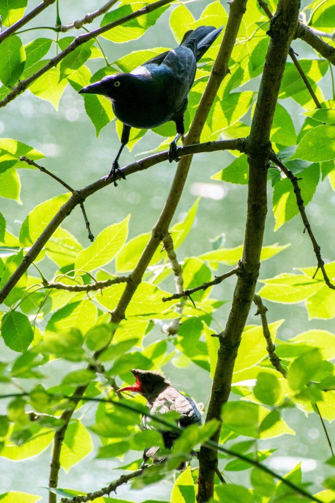 Grackle and fledgling, Prospect Park
