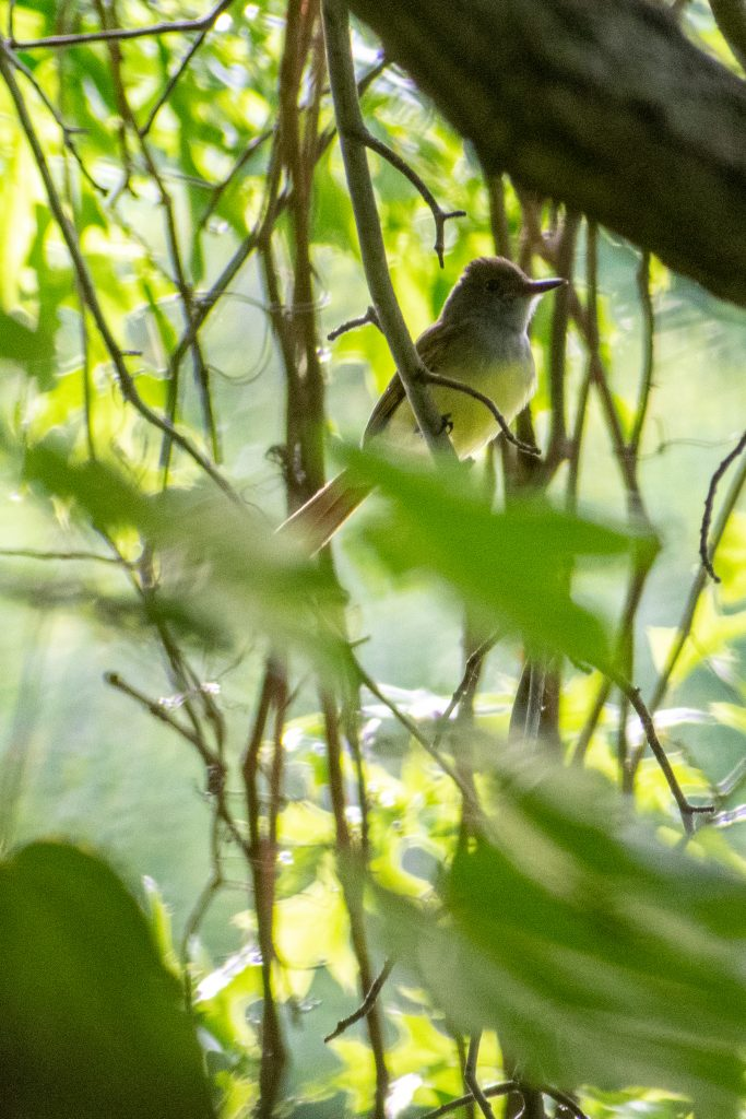 Great-crested flycatcher, Prospect Park