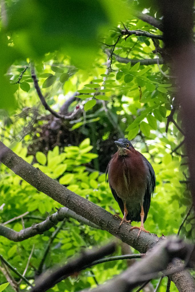 Green heron and nest, Prospect Park