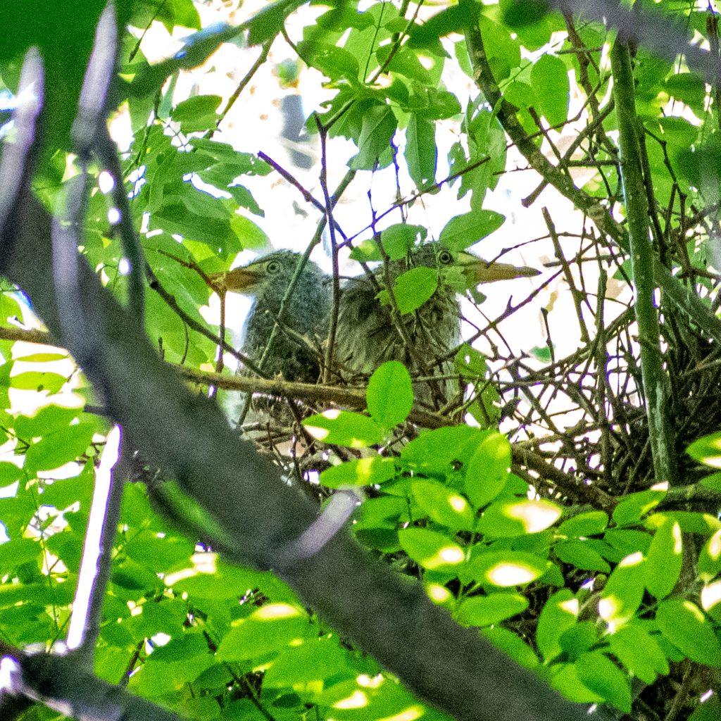 Green heron nestlings, Prospect Park