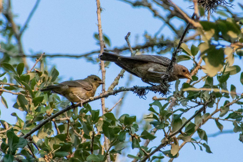 House finches, Yorktown, Texas