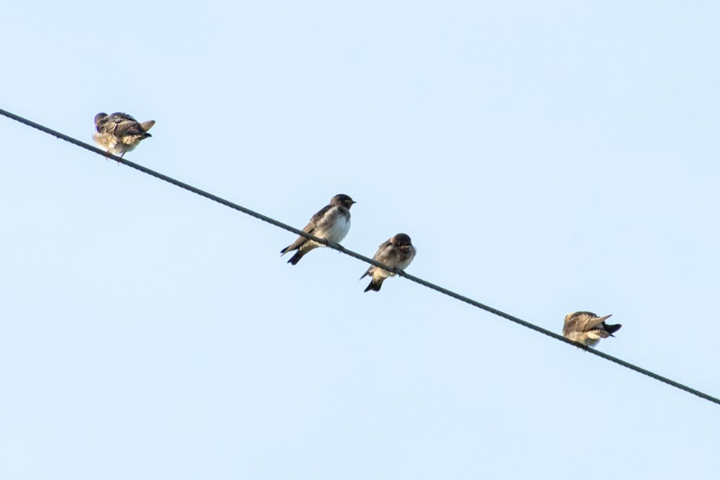 Northern rough-winged swallows, Yorktown, Texas