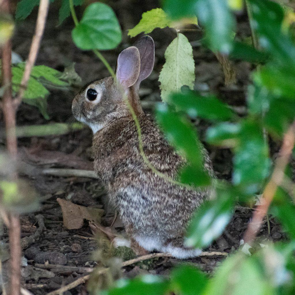 Rabbit, Trinity Park, Fort Worth, TX